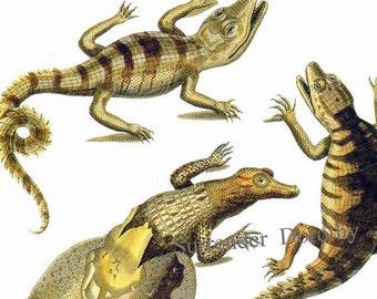 Hatching Young Crocodile Ceylon Herpetology Natural History Lithograph Chart Poster Print To Frame