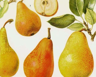 Pear Chart Fruit Flowers Botanical Lithograph Food Illustration For Your Vintage Kitchen 57