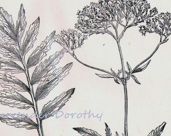 Valerian Valeriana Officinalis Medicinal Plant 1892 Victorian Antique Botanical Herbal Chart To Frame