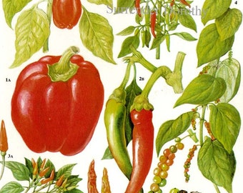 Peppers Fruit & Flowers Food Chart Vegetable Botanical Lithograph Illustration For Your Vintage Kitchen 129