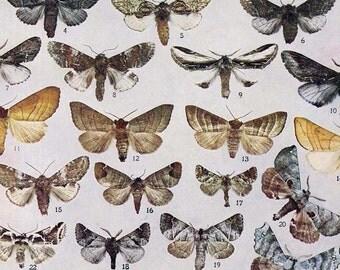 Hypereschra Lophodonta Pheosia Moth Chart 1908 Vintage Entomology Lithograph Natural History Rotogravure Edwardian Illustration XL