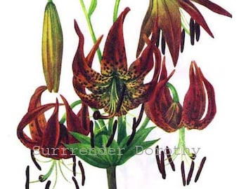 Turk Cap Lily Plant Flowers Vintage 1955 Botanical Herbal Lithograph Art  Print To Frame 33