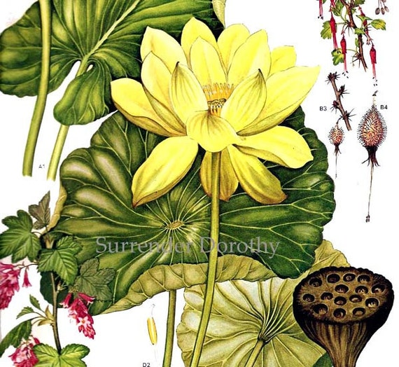 Water Lotus Lily  Flowers North American Botanical Exotica 1969 Large Vintage Illustration To Frame 151