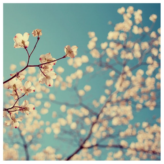 Photography - Flower Photograph - Dogwood Tree - Spring Photography -  Tuesday Blues -  Fine Art Photograph - Blue - White - Alicia Bock