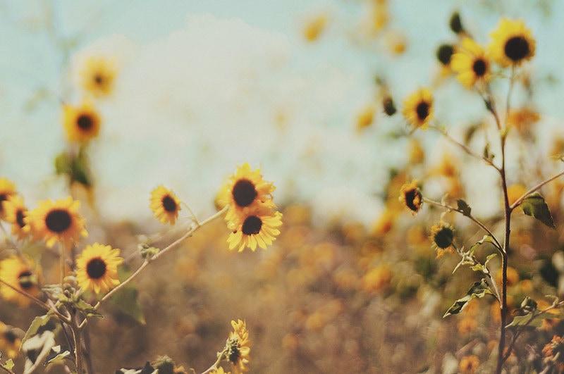 Vintage Sunflower Desktop Background