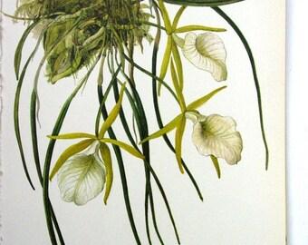 Vintage Botanical Print, Orchid Illustration , Brassavola perrinii, No.44