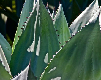 Cactus turquoise blue green lime white dark blue photograph nature southwestern  AGAVE 2  wall decor decorative art