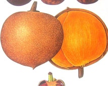 Mangosteen, Mamey Exotic Fruit Print Vintage Cookbook Color Book Page Plate 1991