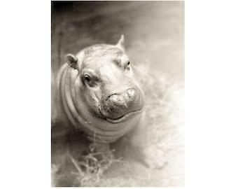 Baby Animal Art Hippo Photograph Hippopotamus Black White Nursery Decor Print