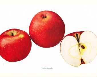 1905 Fruit Print - Red Canada Apple - Vintage Home Kitchen Food Decor Plate Plant Art Illustration Great for Framing 100 Years Old
