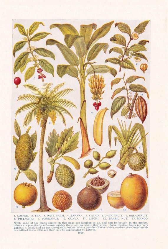 1947 Botany Print - Tropical Fruit - Vintage Plant Home Decor Art Illustration Nature Science Great for Framing