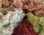 Preserved Reindeer Moss Lichen, So Colorful, Perfect Portion for Small Terrarium
