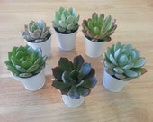 "Budget-Friendly, 55 Succulent Plant Favors, Wedding Favors, Rosettes in 2"" Silver Tin Pails, Optional Favor Tags Available"