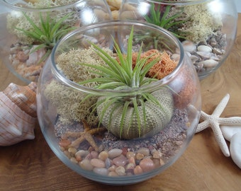 Tillandsia Air Plant DIY Terrarium, Your Choice of White or Beach Sand