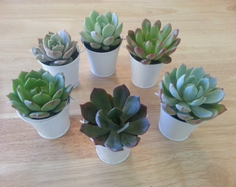 """Budget-Friendly, 55 Succulent Plant Favors, Wedding Favors, Rosettes in 2"""" Silver Tin Pails, Optional Favor Tags Available"""