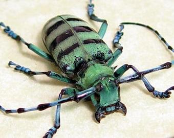 Anoplophora Medembachi Blue Longhorn Beetle Real Framed 8086F