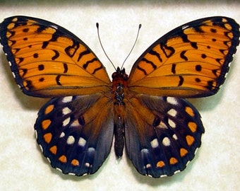 Real Framed The Regal Fritillary Speyeria Idalia Butterfly 8094