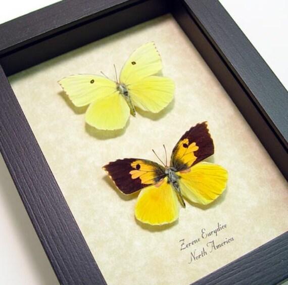 California Dogface Butterfly Pair Zerene Eurydice Real Framed Butterflies 659P