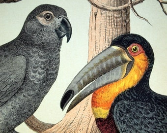 Antique Prin of Parrots and Woodpeckers - 1889 Vintage Chromolithograph of Birds