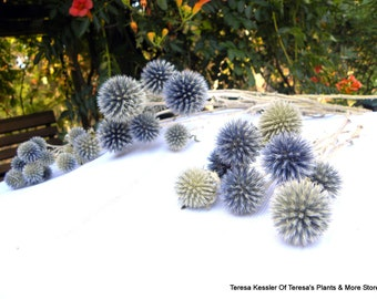 Echinops-6 Dried Globe thistle shorter 4-6 inches stems-Purple blue flowers-Dried Natural or PRESERVED BLUE