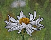 Boltonia - Limited Edition Giclee Print - Available to Ship Now