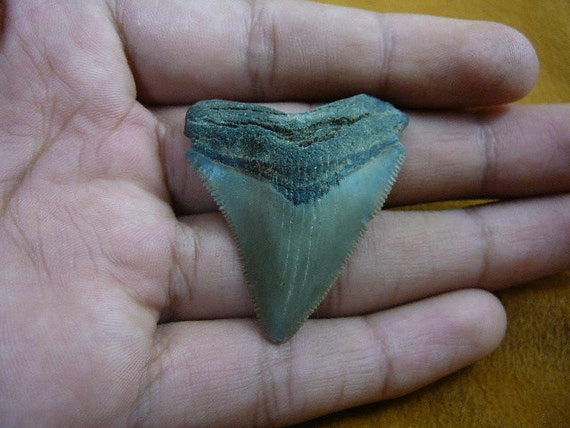 1-3/4 inch Fossil MEGALODON Shark Tooth Teeth for JEWELRY craft Nice specimen S233-65