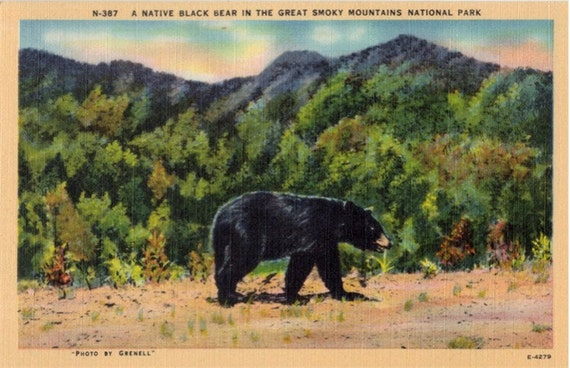 Vintage Postcard - A Black Bear in the Great Smoky Mountains (Unused)