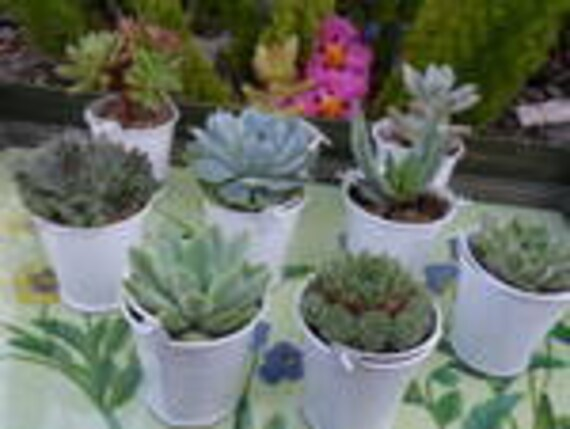 RESERVED For Anne, A Collection Of 100 Succulents, White Pail Favors, Ship Date October 1