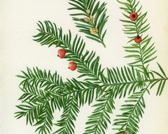 Vintage Tree Print, Common or English Yew, Christmas Tree Botanical, Ornamental, Natural History 23 Frameable, 1969, Choc