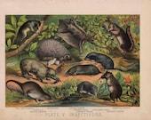 1880 animal habitat antique print original lithograph - shrew hedgehog mole lemur
