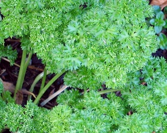 Parsley, Organic Forest Green Parsley Seeds