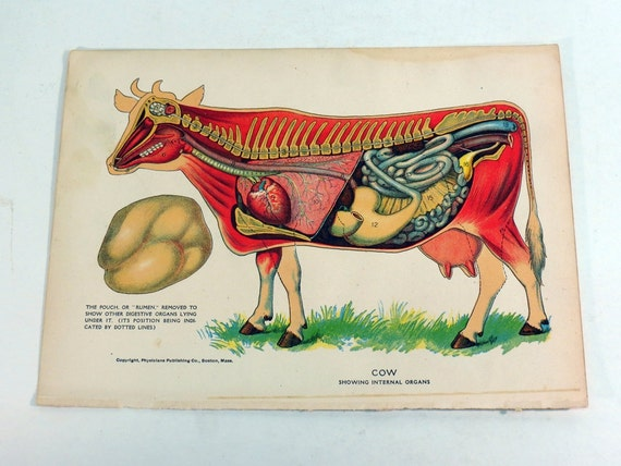 cow anatomy diagram showing internal organs by kentoncollectibles : cow anatomy diagram - findchart.co