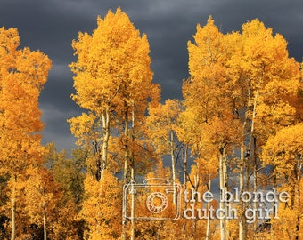 Aspen Trees and Grey Storm Clouds (photograph, various sizes)