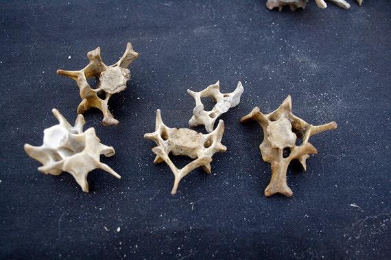 x5 Nature Cleaned Cervical Vertebrae - Real Bone, Taxidermy, R64403 - Grade A/B