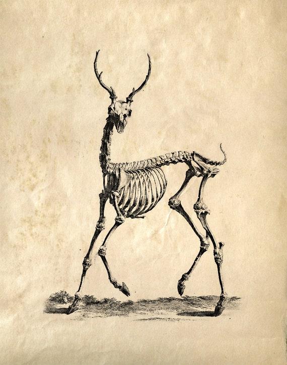 Vintage Science Animal Anatomy Study. Deer Skeleton. Educational Biology Scientific Chart Diagram - CP121