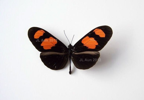 Real butterfly specimen, Unmounted, ready spread Orange Patched Longwing