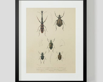 Vintage Insect Coleopteres Entomology Plate 9