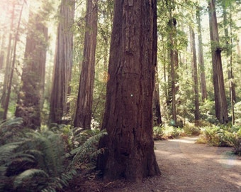 """Redwoods Photograph, Trees, Woodland, Northern California, Rustic, Redwood Trees, Forest Wall Art, Adventure   """"California Redwoods"""""""