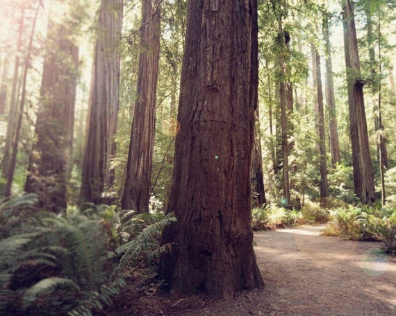 "Redwoods Photograph, Trees, Woodland, Northern California, Rustic, Redwood Trees, Forest Wall Art, Adventure   ""California Redwoods"""