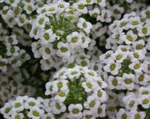 SWEET ALYSSUM - 2, 4, or 8 oz - Perfume for Women - Floral Fragrance Family / Main Accords, White Floral, Sweet, Floral