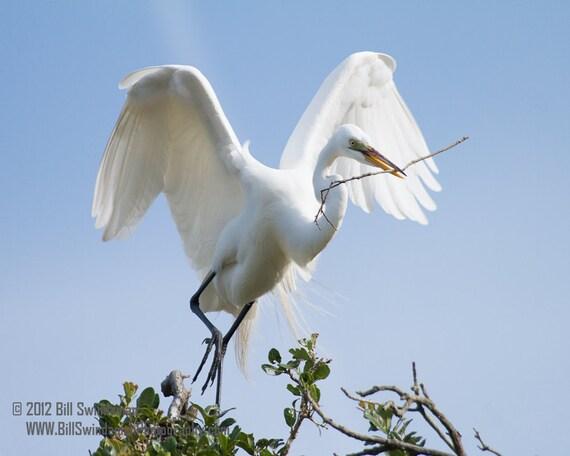 Bird Photograph- Great White Egret 8 x 10