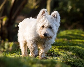 I am Crumpet 12 - Dog Photography - Westie - West Highland terrier - Wall Décor