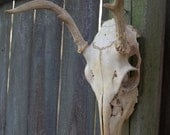 Vintage Deer Skull with Antlers and Teeth