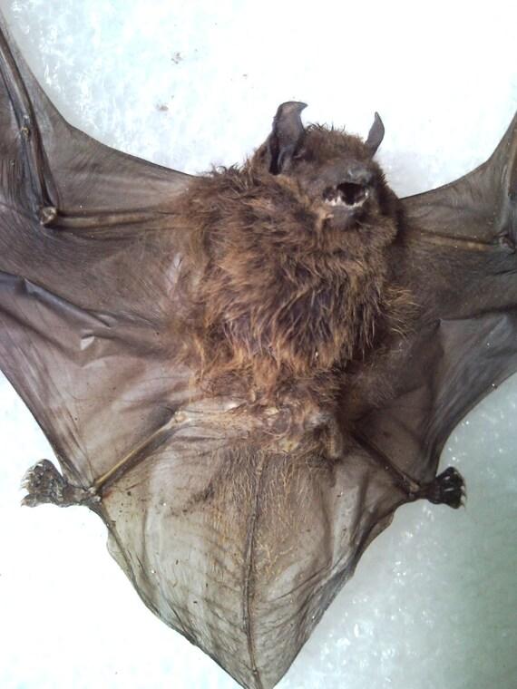 Vampire Bat Specimen - SHIP FREE 1