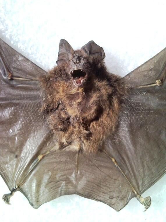 Real Bat Specimen - SHIP FREE 2