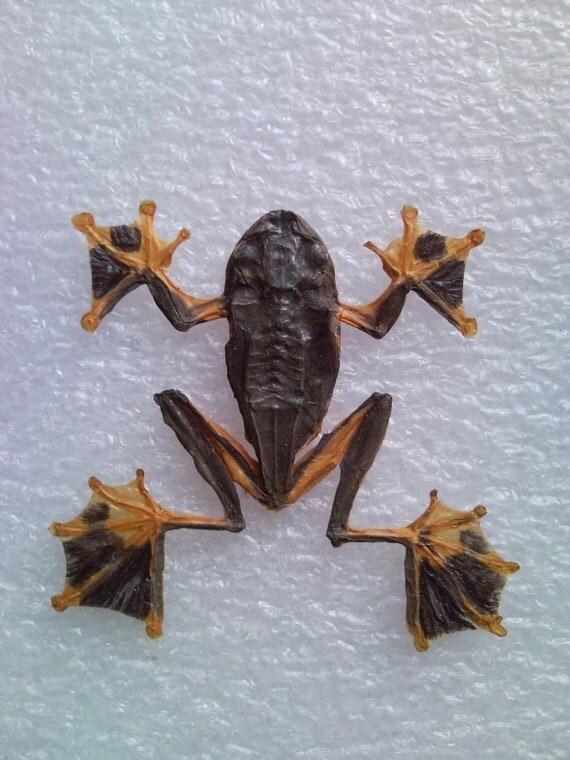 Golden Webbed Tree Frog Specimen Female - SHIP FREE