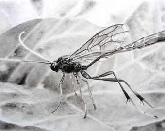 Wasp charcoal drawing, original artwork, wildlife drawing, insect drawing, insect art, wasp art, black and white, wall art, pencil drawing