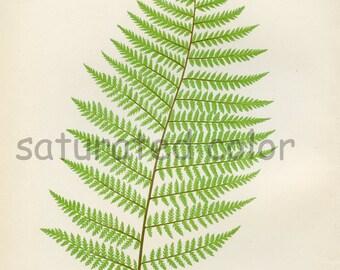 Antique Fern Chromolithograph Original Print - Green Fern Frond - Antique 1874 Edward Lowe Fern - No. 2 - Chartreuse