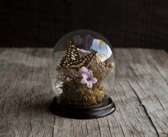 Glass Display Cloche with Butterfly Specimen Curio