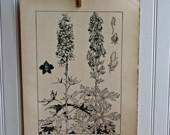 LARGE Vintage Plant Form Print-Book Plate-LARKSPUR. MONKSHOOD-1903-Found in Dublin